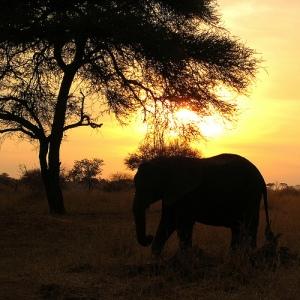 elephant at sunset, Tanzania